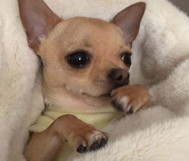Página web de Chihuahuas